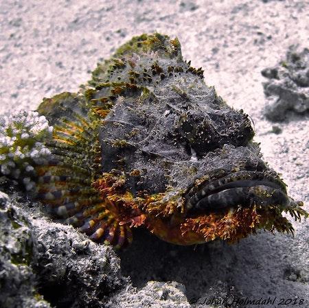 Scorpionfish - Egypt 2018