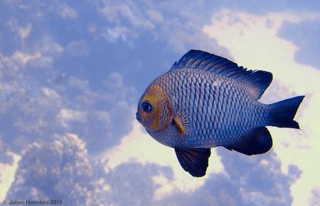 Dominofish - Egypt 2015