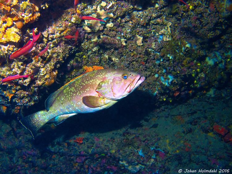 Grouper - Isla Hormigas 2016