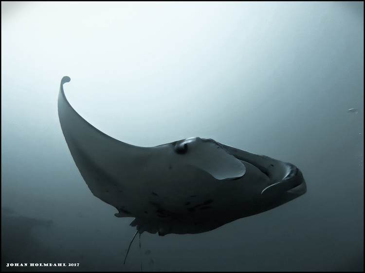 Giant Manta Ray - Maldives 2017