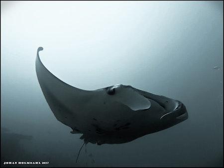 Giant Manta Ray - Maldives 2017