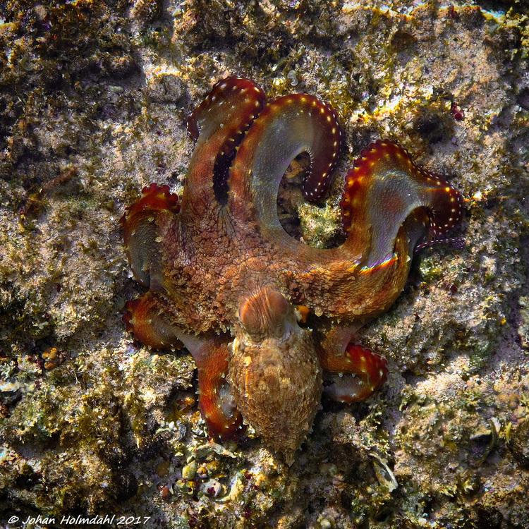 Brown Octopus - Egypt 2017