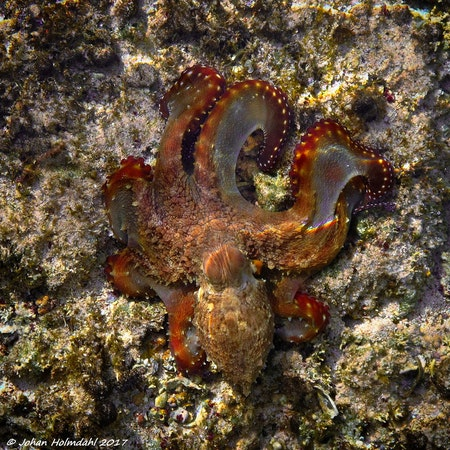 Brown Octopus - Egypt 2017