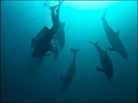 Bottlenose Dolphins - Egypt 2018