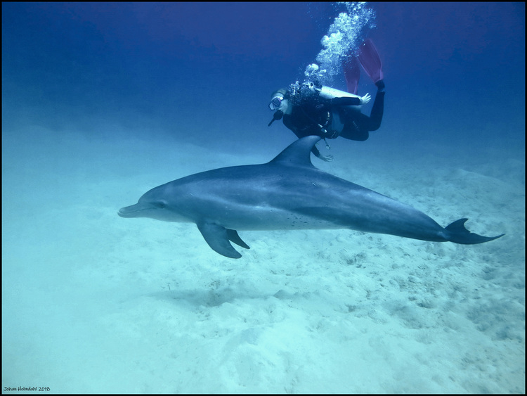 Diver & Bottlenose Dolphin - Egypt 2018