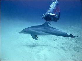 Dykare och flasknosdelfin - Egypten 2018