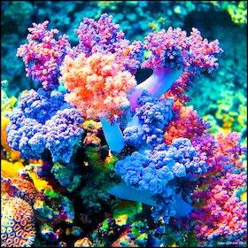 Mjuka koraller - Egypten 2017