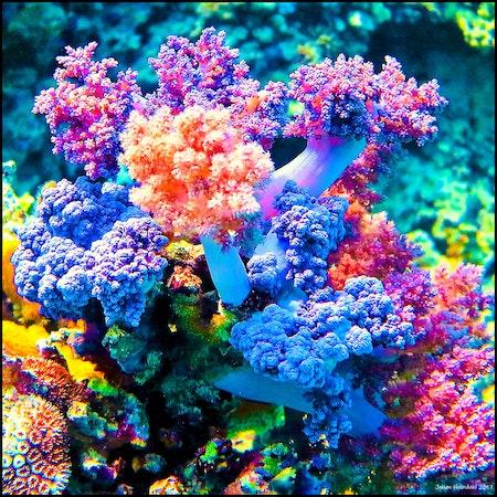 Soft Corals - Egypt 2017