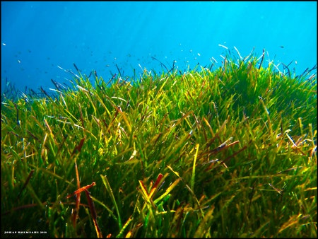 Seagrass - Croatia 2013