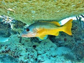 One Spot Snapper - Maldiverna 2017