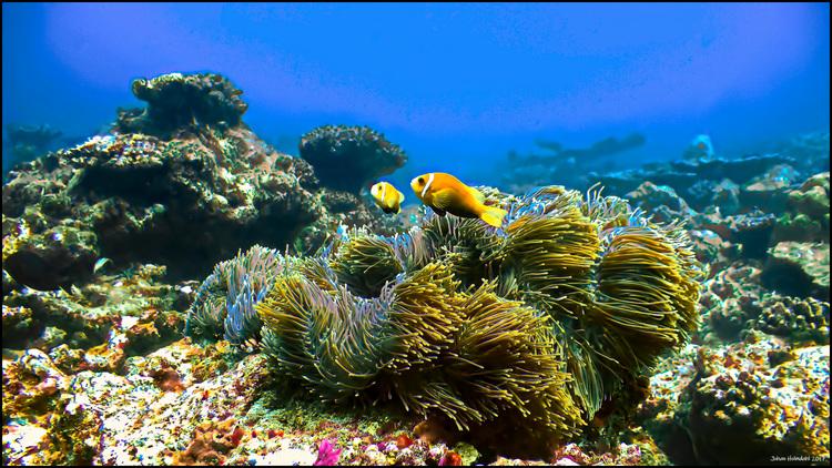 Två Anemonfiskar - Maldiverna 2017