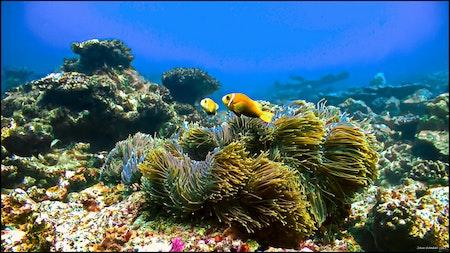 Anemon fish - Maldives 2017