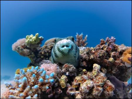 Pufferfish - Egypt 2018