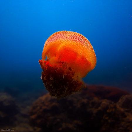 Jellyfish - Thailand 2018