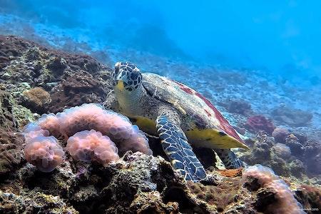 Hawksbill Turtle No.1 - Phi Phi Islands 2018