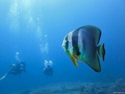 Batfish - Similan Islands 2018