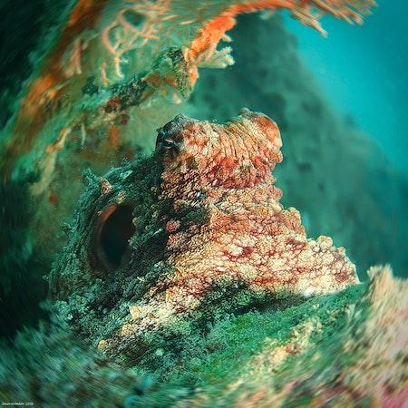 Brown Octopus - Thailand 2018