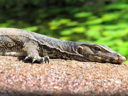 Lizard by the Sea - Thailand 2018