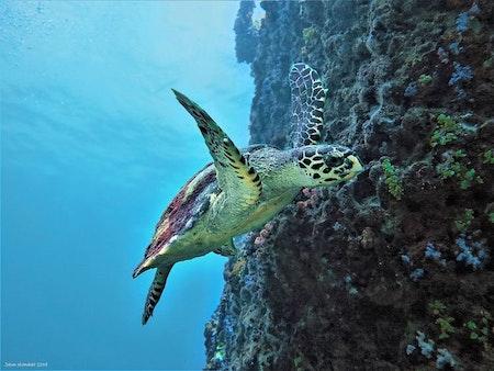 Loggerhead Turtle - Phi Phi Islands 2019