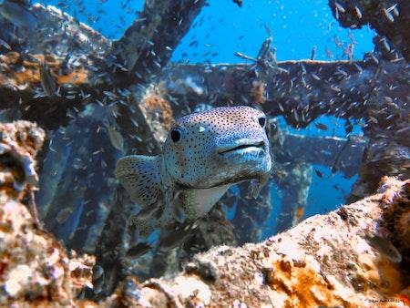 Puffer Fish - Thailand 2019