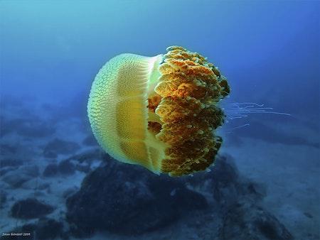 Jellyfish - Phi Phi Islands 2019