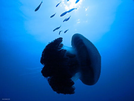 Jellyfish in the Blue - Phi Islands 2019