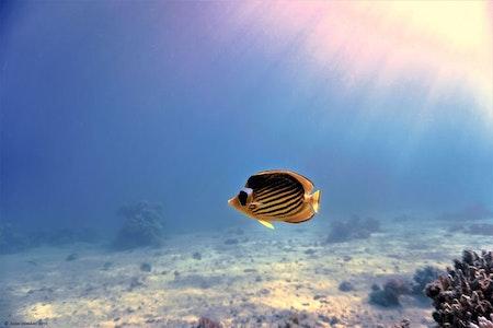Butterflyfish - Egypt 2019