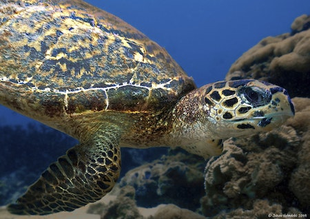 Hawksbill Turtle No.3 - Phi Phi Islands 2019