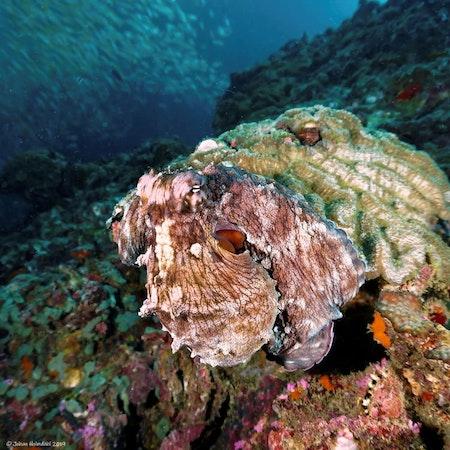 Octopus - Phi Phi Islands 2019