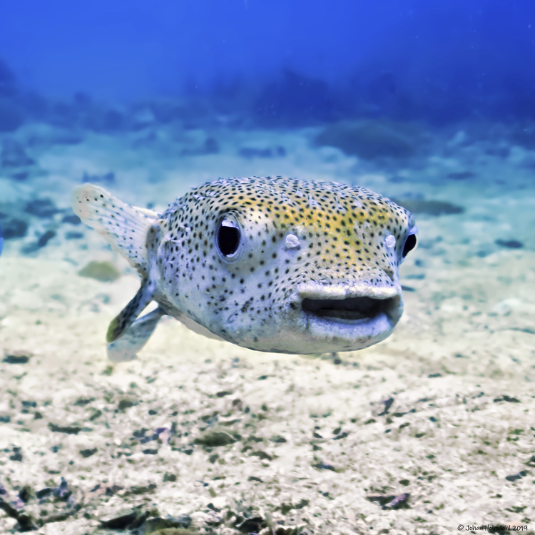 Happy Pufferfish - Phi Phi Islands 2019