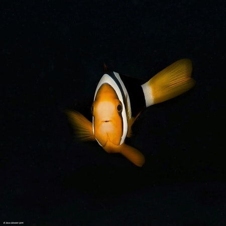 Clownfish in Dark - Phi Phi Islands 2019