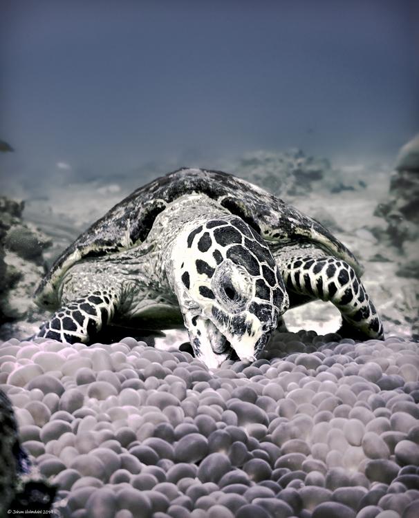 Hawksbill Turtle - Malong 2019