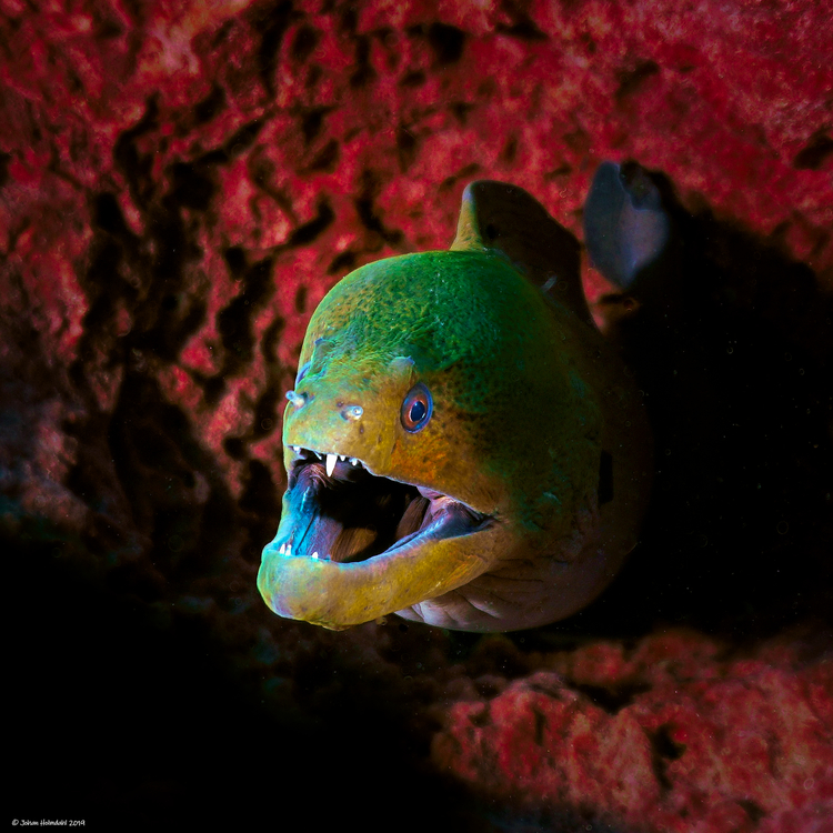 Moray Eel No.2 - Koh Bida Nok 2019