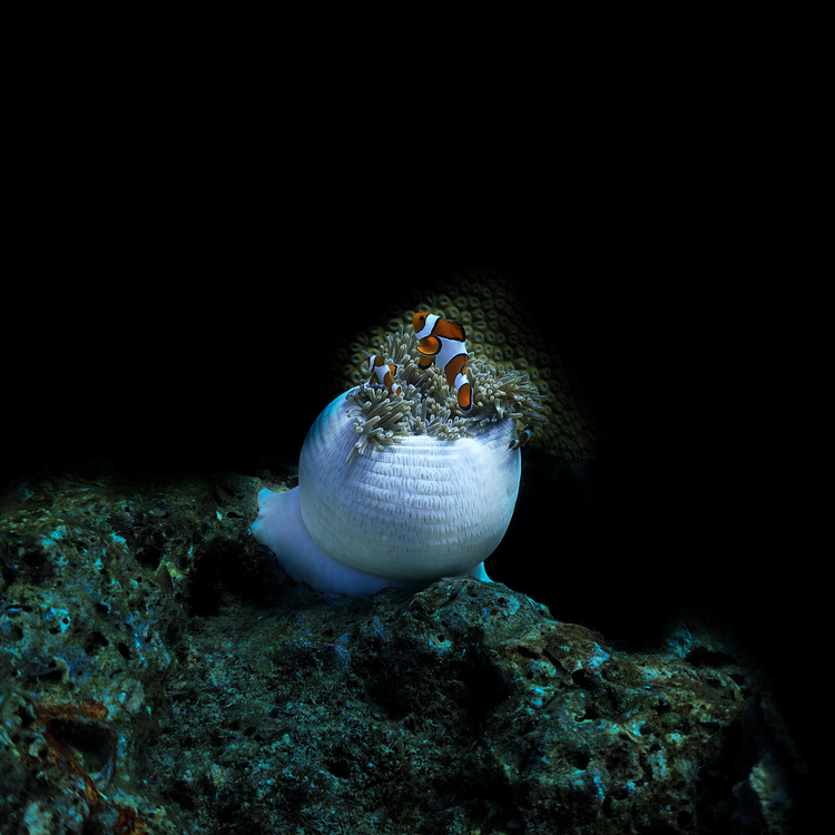 Clownfish Dark No.3 - Koh Haa 2019