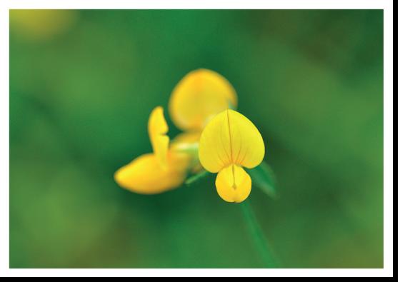 Nyfiken gul