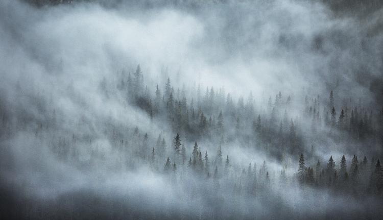 Fototapet med dimmig granskog.