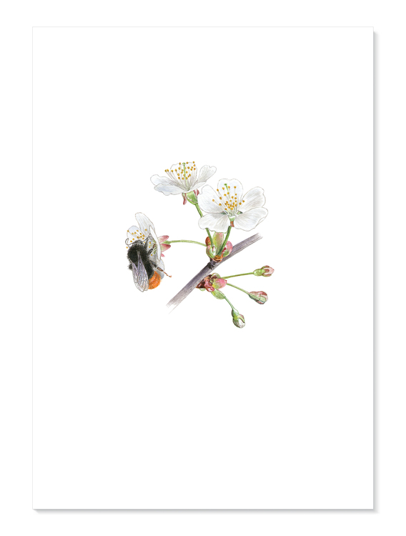 Stenhumla, fågelbär