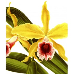 Dubbelkort Gul orkidé