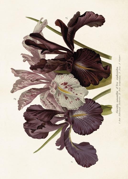 Lila blommor Poster 70*50