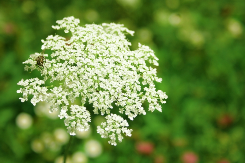 Nature's Spring Gifts 2- Cow Parsley (Wild Chervil)