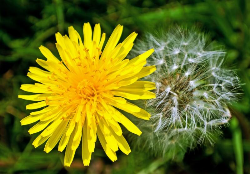 Nature's Spring Gifts  - Dandelions - True or False?