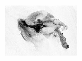Häst från Gullmark rullar i snö  / Poster Fotografi