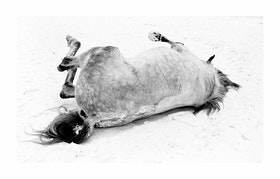 Häst rullar i snö. Gullmark   / Poster Fotografi