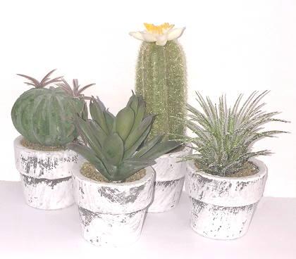 Sia - Minikrukväxt tjockbladig kaktus