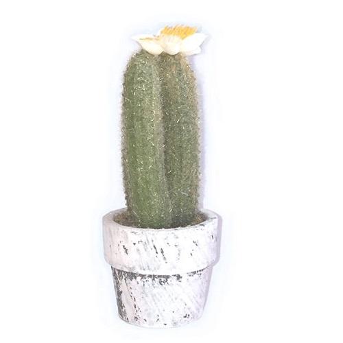 Sia - Minikrukväxt kaktus med blomma