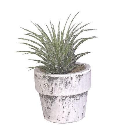 Sia - Minikrukväxt gräskaktus