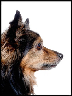 Poster Chihuahua i profil