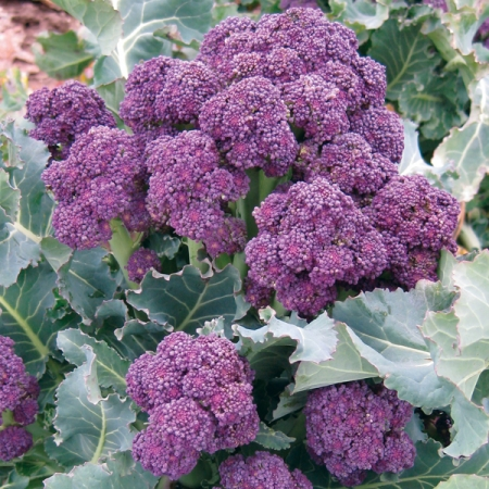Early Purple Sprouting, broccoli