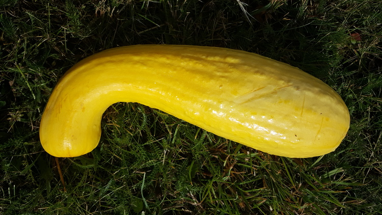 Early Summer Crookneck, sommarsquash