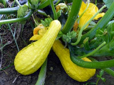 Early Summer Crookneck, sommarsquash (slut)